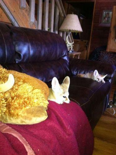Fennec Fox Animals for sale in Los Angeles, CA, USA. price 843USD