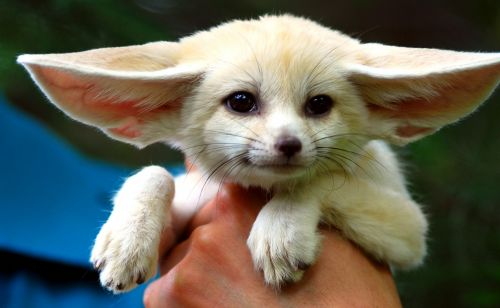 Fennec Fox Animals for sale in Alvarado, TX 76009, USA. price 600USD