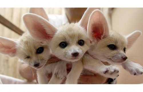 Fennec Fox Animals for sale in Bennington, KS 67422, USA. price 700USD
