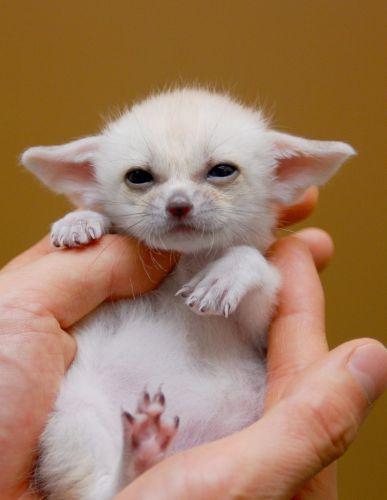 Fennec Fox Pet Baby