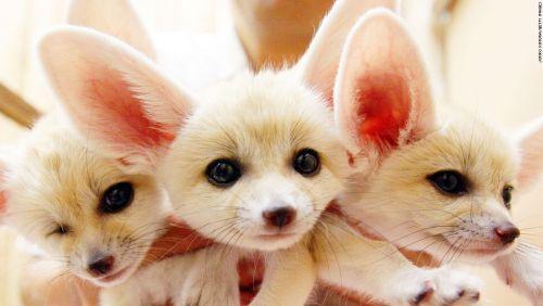 Fennec Fox Sale