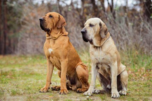 fila brasileiro dogs