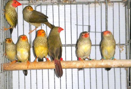 Finch Birds for sale in Miami, FL, USA. price 45USD