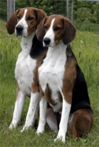 finnish hound dogs