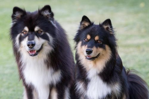 finnish lapphund dogs