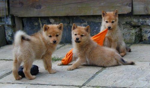 finnish spitz puppies