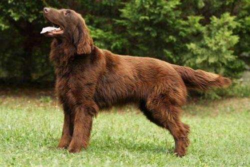 Flat-Coated Retriever vs Labrador Retriever - Breed Comparison