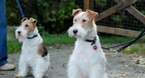 fox terrier dogs