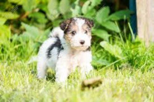 fox terrier puppy