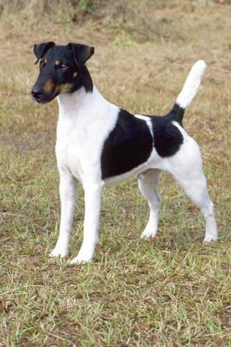 fox terrier smooth dog