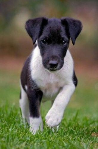 fox terrier smooth puppy