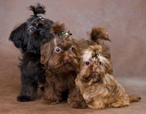 franzuskaya bolonka dogs