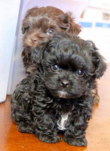 franzuskaya bolonka puppies