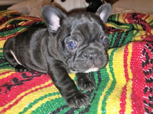 French Bulldog Puppies for sale in 6645 Jonel Way, Bonita, CA 91902, USA. price -USD