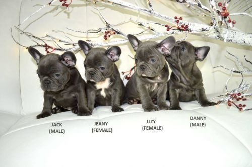 French Bulldog Puppies for sale in TX-121, Blue Ridge, TX 75424, USA. price -USD