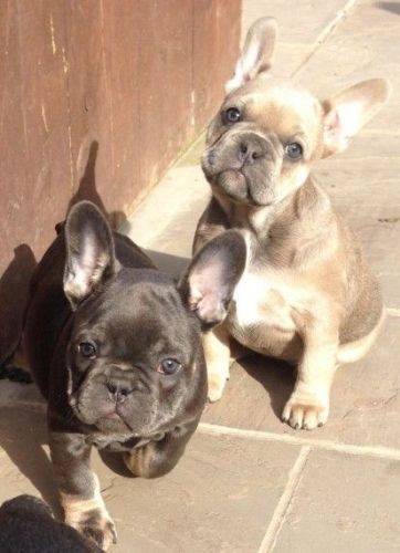 french bulldog mississippi french bulldog puppies for sale lake cormorant ms 9798