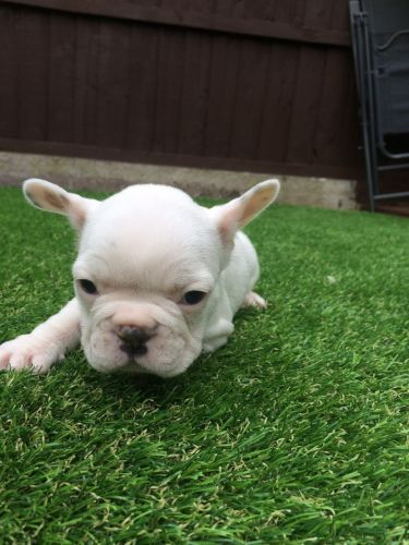 french bulldog utah french bulldog puppies for sale salt lake city ut 9749