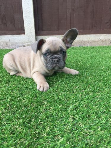 french bulldog puppies cincinnati french bulldog puppies for sale louisville ky 200333 4793