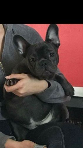 french bulldog rescue seattle french bulldog puppies for sale marysville wa 198098 8169
