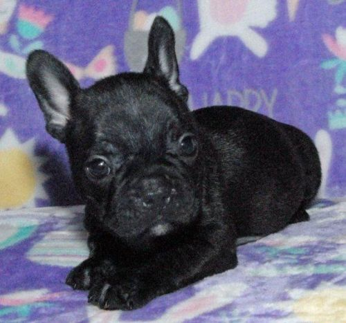 french bulldog puppies for sale in ct french bulldog puppies for sale broad brook ct 207168 2804