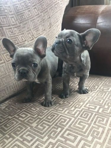 french bulldog utah french bulldog puppies for sale salt lake city ut 8898