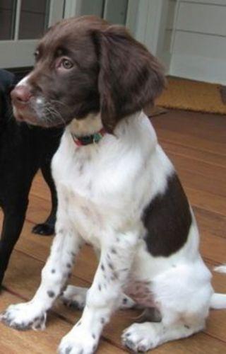 french spaniel puppy