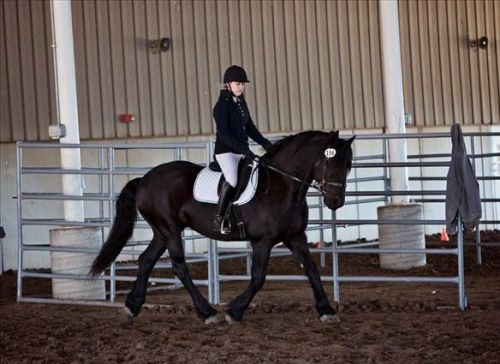 Friesian Horse Horses for sale in New York, NY, USA. price 1500USD