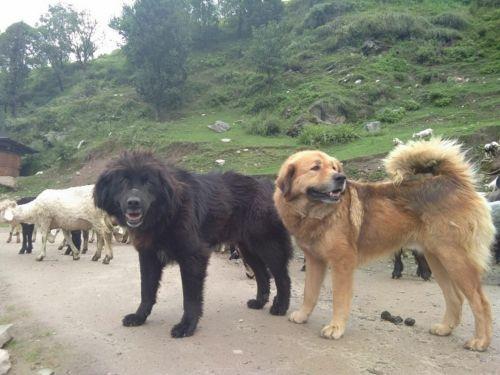 gaddi kutta dogs