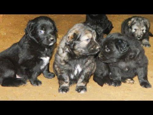 gaddi kutta puppies