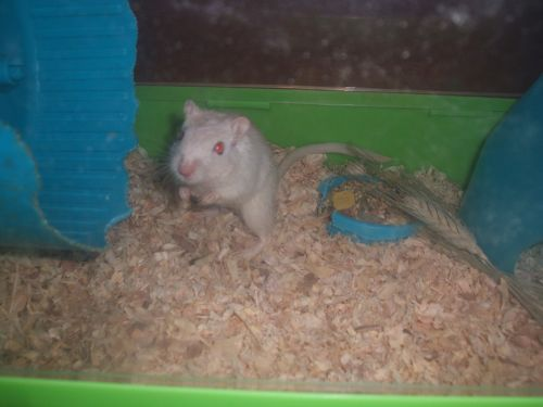 Gerbil Rodents for sale in Saginaw, MI, USA. price 10USD