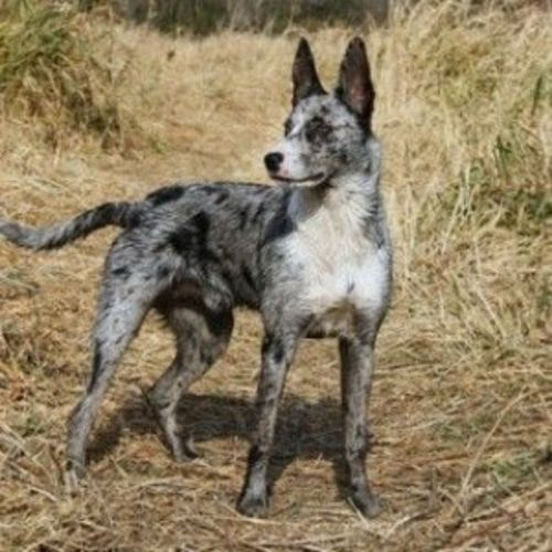 german coolie dog