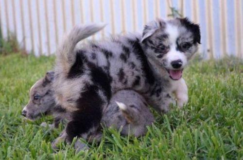 german coolie puppies