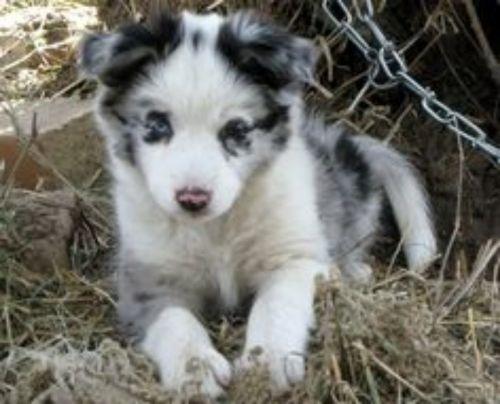german coolie puppy