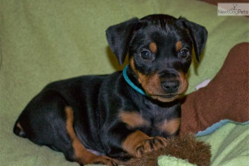 german pinscher puppy