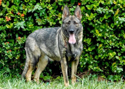 German Shepherd Puppies for sale in Miami, FL, USA. price -USD