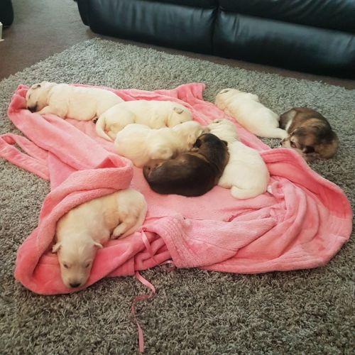 German Shepherd Puppies for sale in Philadelphia, PA, USA. price 650USD