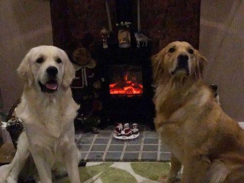 German Shepherd Puppies for sale in Philadelphia, PA, USA. price 600USD