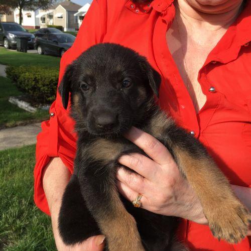 German Shepherd Puppies for sale in Hammond, IN, USA. price 700USD