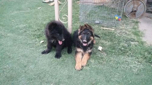 German Shepherd Puppies for sale in Tucson, AZ, USA. price 900USD
