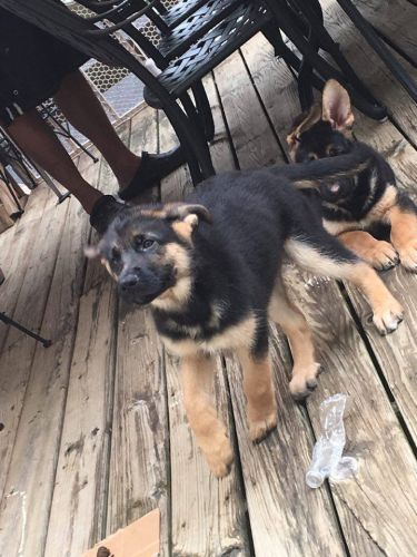German Shepherd Puppies for sale in Woodbridge, VA 22192, USA. price 650USD