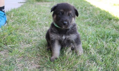 German Shepherd Puppies for sale in Reading, PA 19605, USA. price 500USD