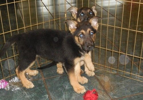 german shepherd puppies for sale in san antonio german shepherd puppies for sale san antonio tx 203921 4558