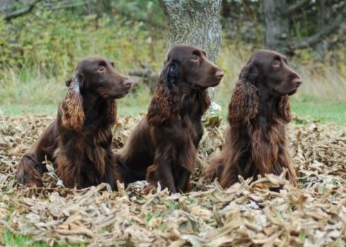 german spaniel dogs