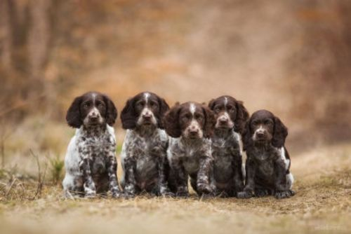 german spaniel puppies