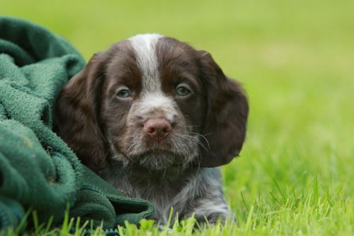 german spaniel puppy