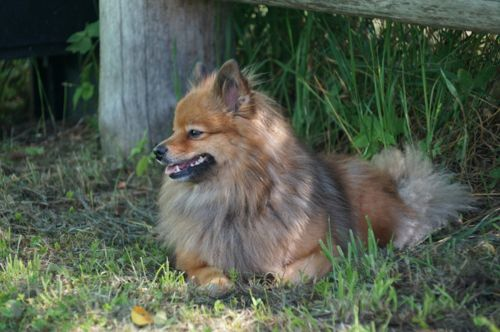 german spitz klein dog