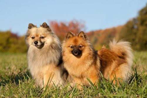 german spitz klein dogs