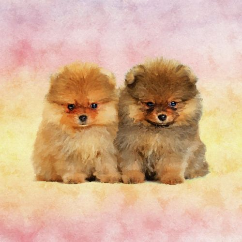german spitz klein puppies