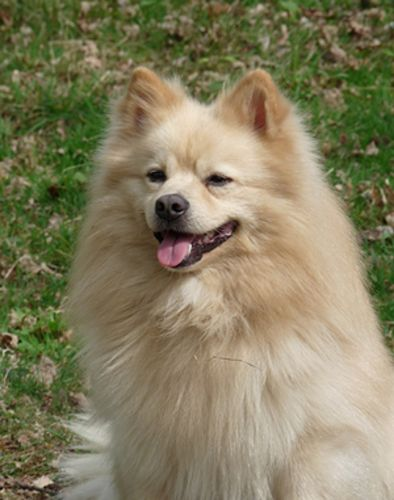 german spitz mittel dog