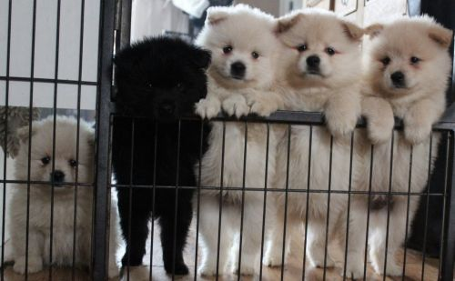 german spitz mittel puppies